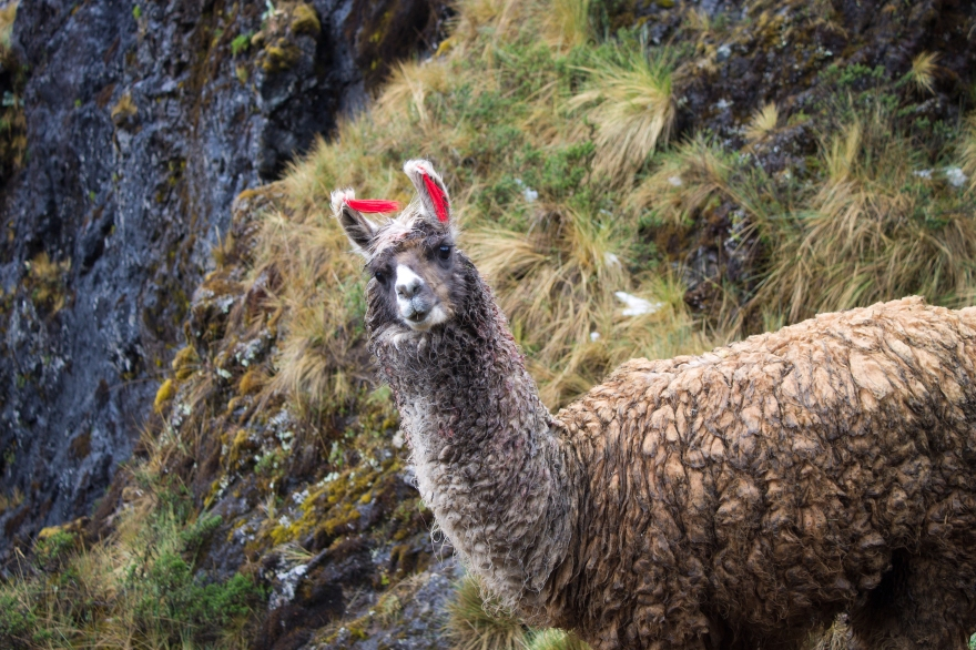 Llama Near Pachacutec Pass