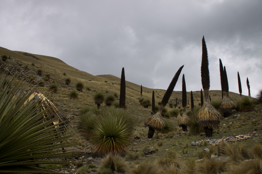 Puya Raimondii, Huascarán National Park, Peru