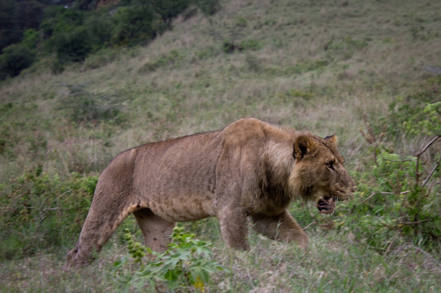 Lion, Lake Nakuru