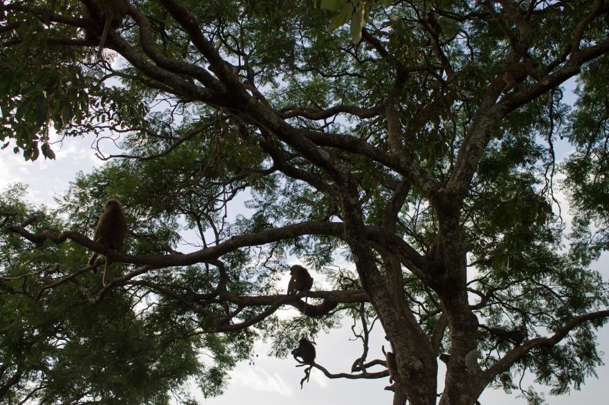 Baboons, Lake Nakuru