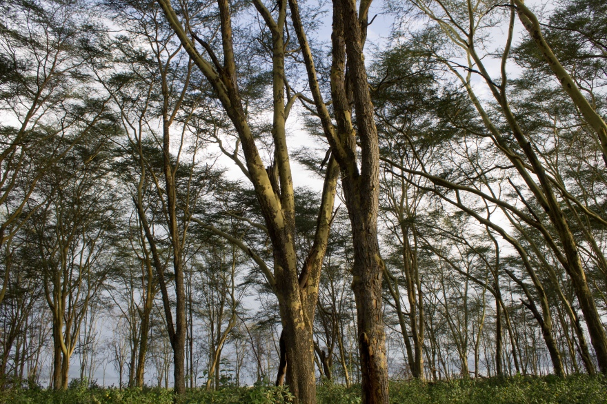 Trees by Lake Nakuru