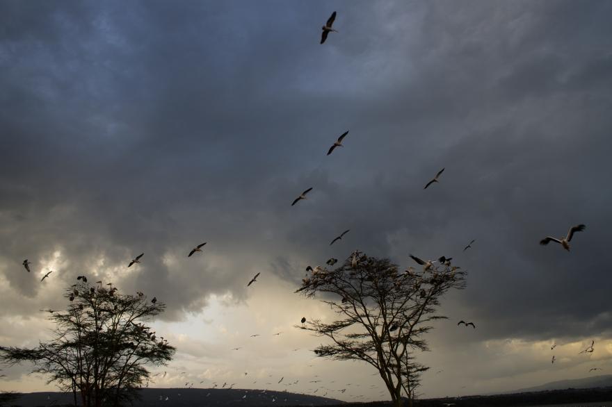 Storks of Lake Nakuru