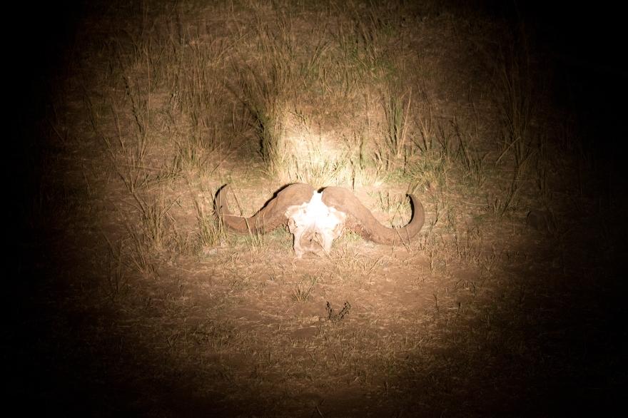 Buffalo Skull, Maasai Mara