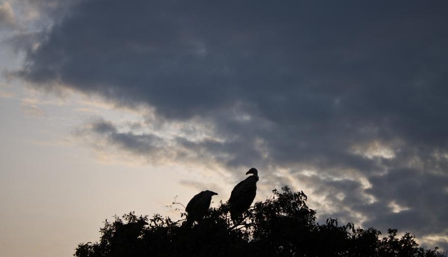 Vultures, Maasai Mara