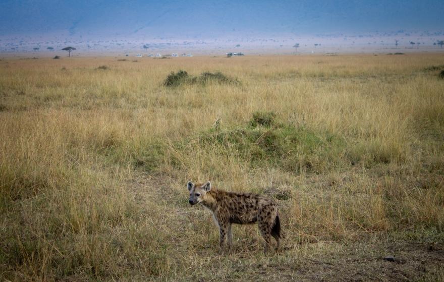 Hyena, Maasai Mara