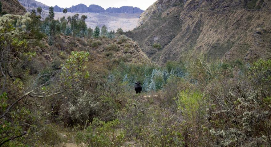 Cow Near Chicon Glacier
