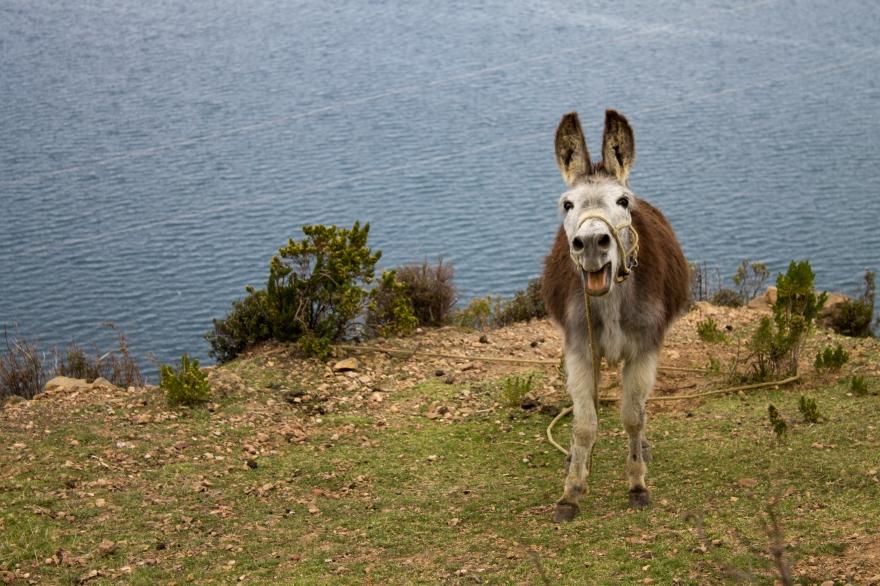 Silly Donkey, Isla del Sol
