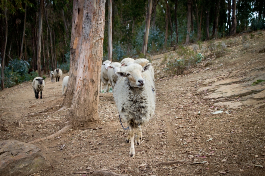 Sheep on Isla del Sol