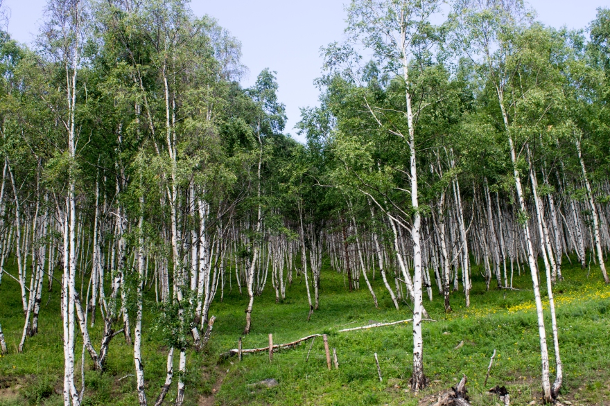Birches by Lake Baikal