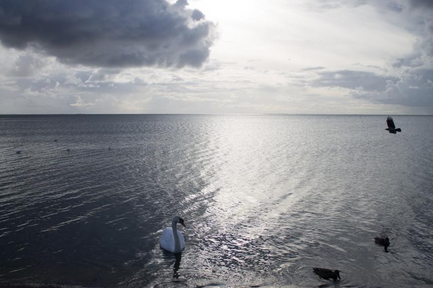 Swan in Nida