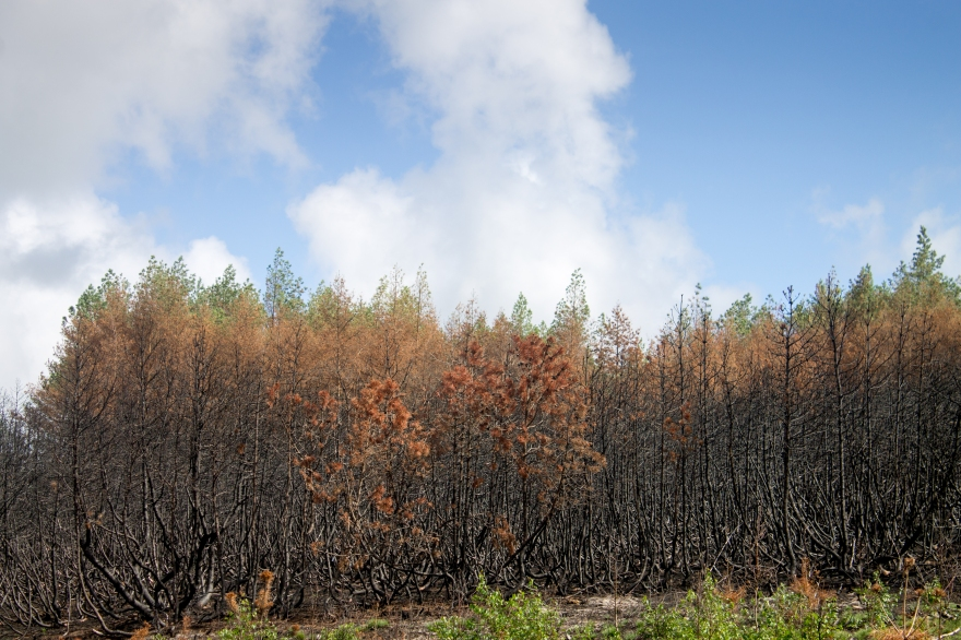 Burnt Forest, Curonian Spit