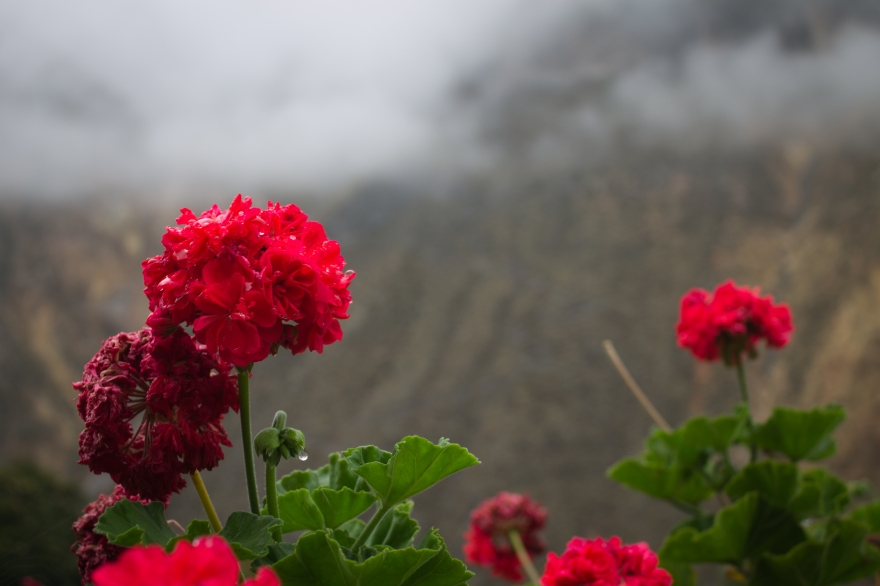 Flowers in Colca Canyon