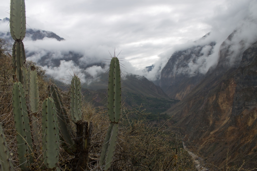 Colca Cactus
