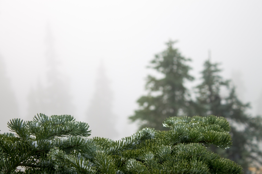 Pine and Droplets