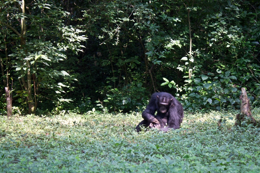 Chimp, Budongo Forest