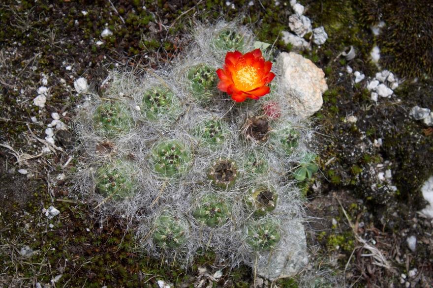 Cactus Flower, Peru