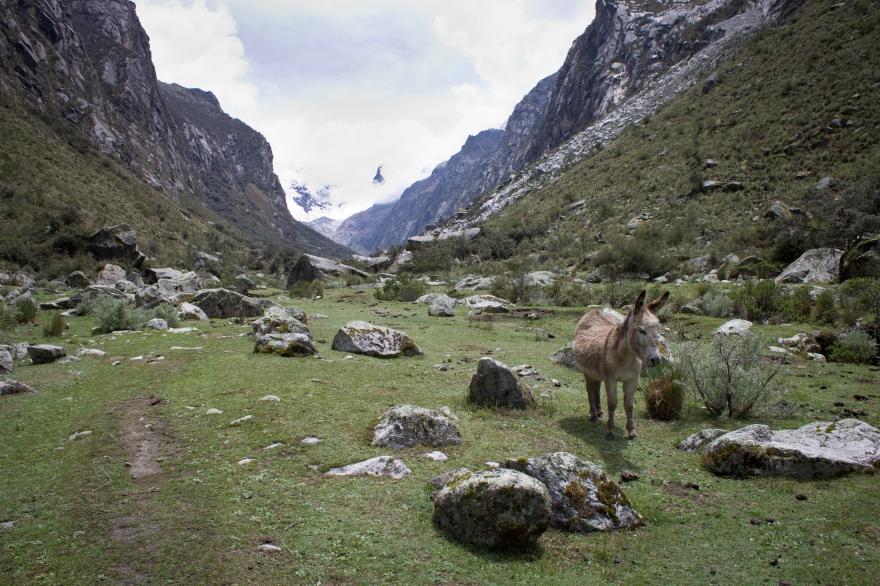 Cordillera Blanca Donkey