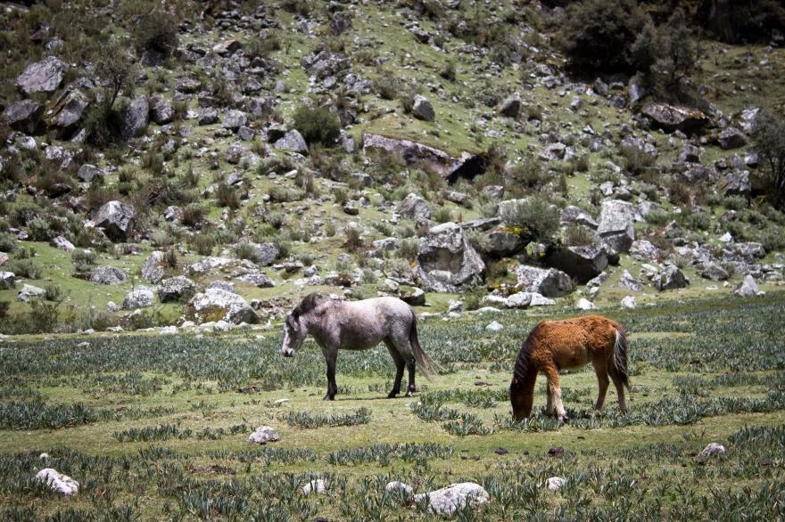 Cordillera Blance Horses