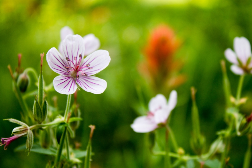 Lizard Creek Flowers
