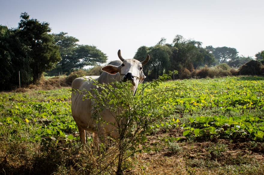 Bagan Cow