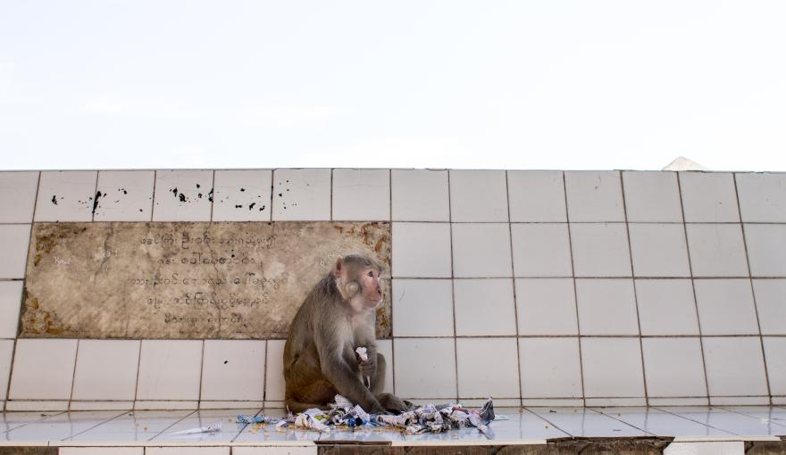 Monkey, Mount Popa