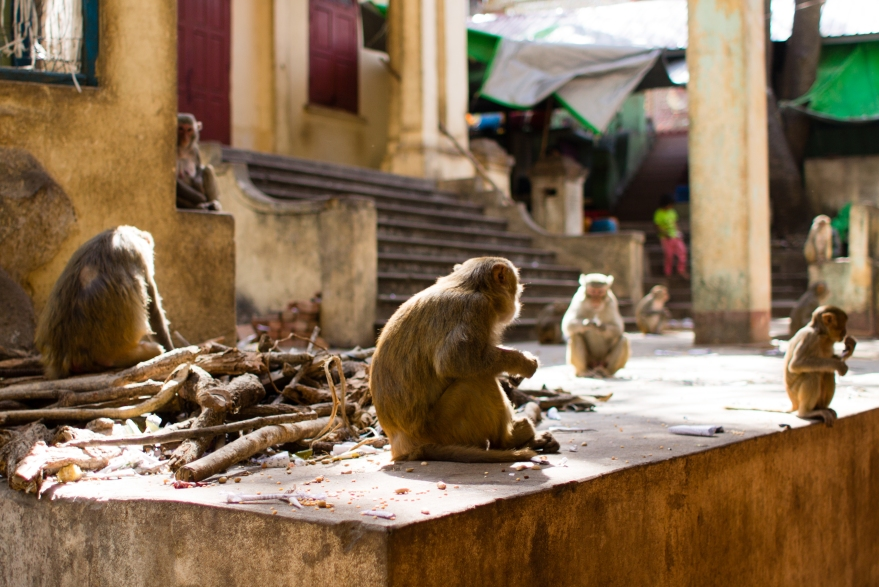 Mount Popa's Monkeys