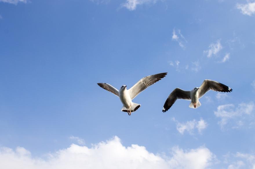 Lake Inle Gulls