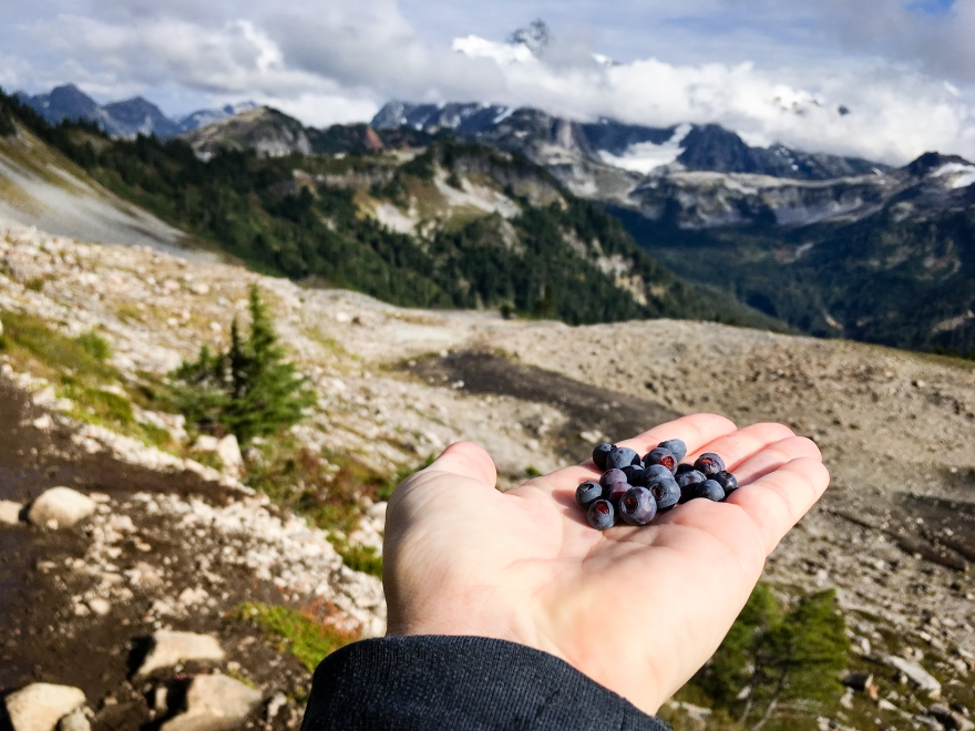 Huckleberries on Ptarmigan Ridge