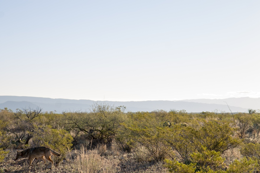 Big Bend Coyote