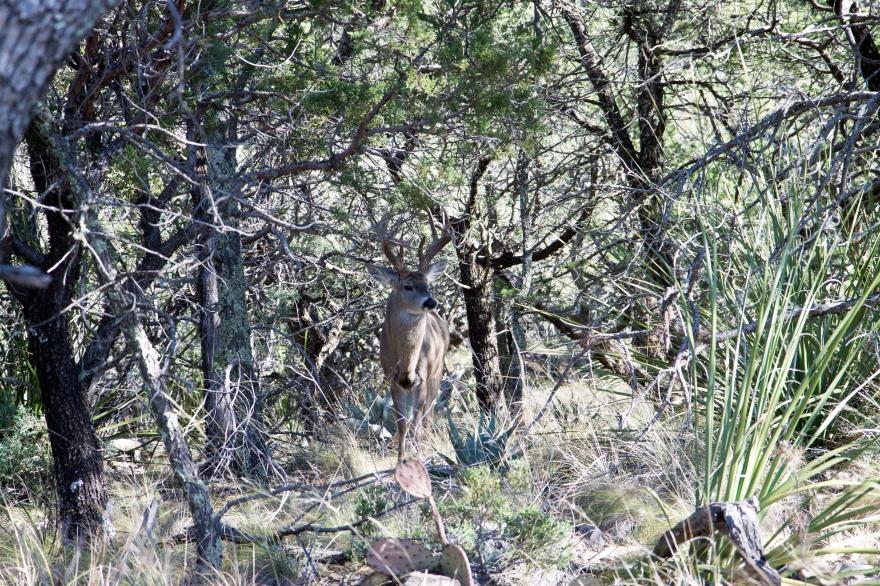 Big Bend Deer
