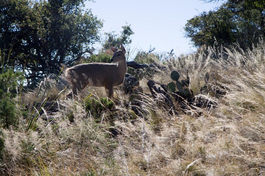 Big Bend Deer 2