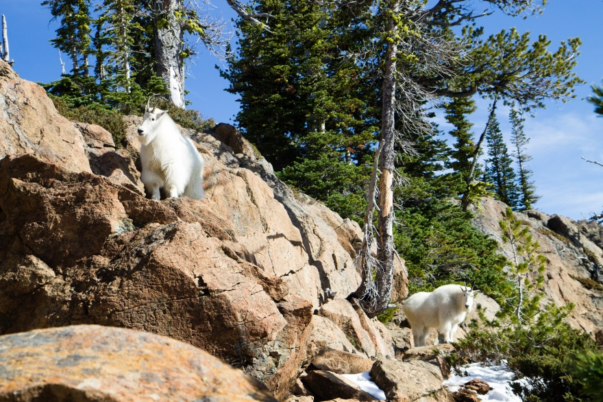 Lake Ingalls Mountain Goats