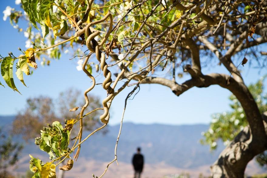 Twisted Tree, Monte Albán