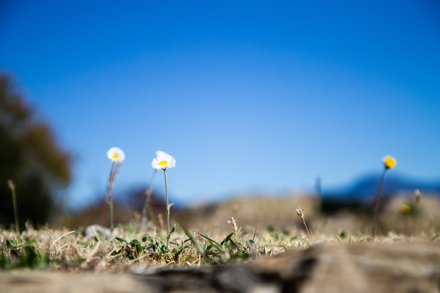 Little Daisies, Monte Albán
