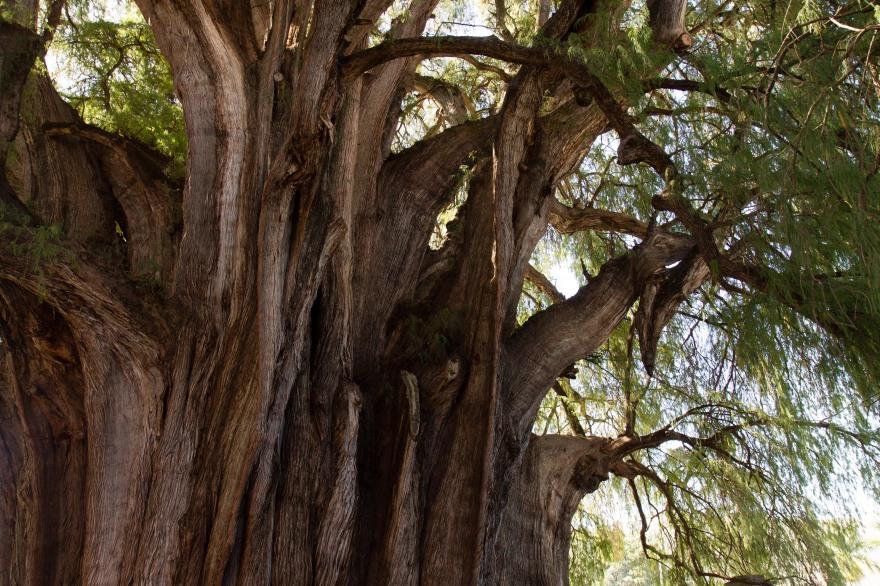 Trunk of el Árbol del Tule II