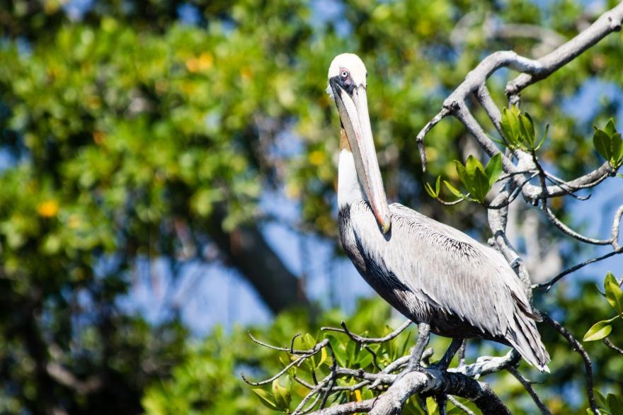 Laguna de Manialtepec Pelican