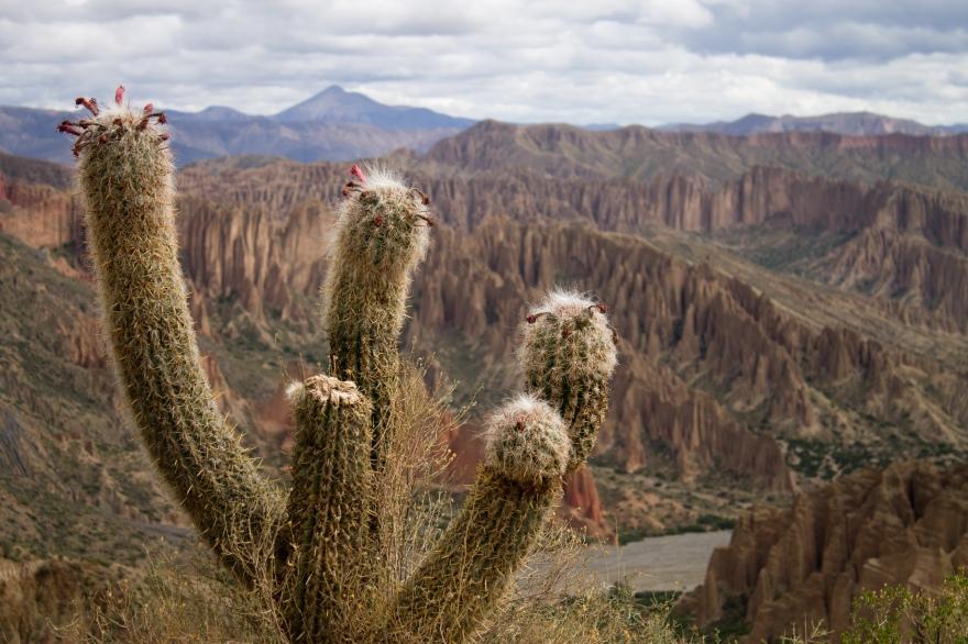 Tupiza Cacti